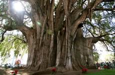 Công nhận cây di sản Việt Nam với quần thể cây đa ở Đồng Văn