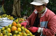 Giá hồng quả rớt thê thảm, các chủ vườn ở Đà Lạt lao đao