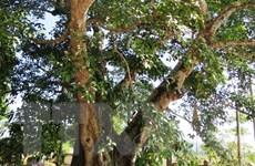 Cây đa cổ Hà Tĩnh được công nhận là chứng tích lịch sử văn hóa