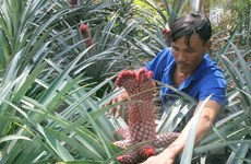 Nông dân Hậu Giang lãi lớn nhờ trồng dứa phụng phục vụ Tết