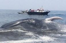 [Video] Hàng trăm con cá voi bị mắc cạn tại bờ biển Ấn Độ