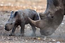 Kêu gọi CITES không hợp pháp hóa buôn bán sừng tê giác ở COP 17