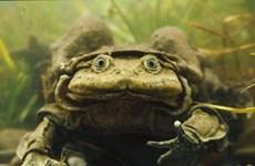 Peru điều tra hiện tượng ếch Titicaca chết hàng loạt trên sông