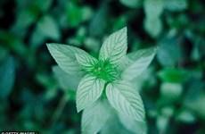 18 loại thảo mộc có tác dụng chữa bệnh không phải ai cũng biết