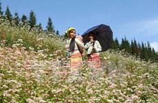 Cao nguyên đá Đồng Văn hút du khách mùa hoa tam giác mạch
