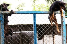 """Bảo tồn và xây dựng giống loài chó Phú Quốc thành """"sản phẩm"""" du lịch"""