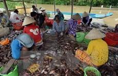 Giá cá rô giảm mạnh, người nuôi cá ở Long An bị thua lỗ nặng
