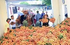 Hưng Yên: Vải lai chín sớm Phù Cừ được mùa tăng giá