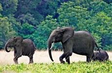 Malawi hoàn tất dự án di dời 520 con voi kéo dài 2 năm