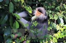 Đồng Nai: Lên phương án bảo vệ đàn voọc trên núi Chứa Chan