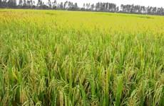 Đồng bằng sông Cửu Long thiếu giống lúa chất lượng cho xuất khẩu