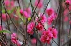 Những loài hoa đặc trưng cho Tết cổ truyền ở Việt Nam