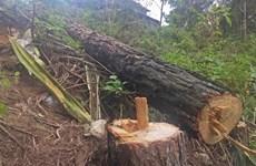 Đắk Nông: Tan hoang rừng thông cảnh quan ven Quốc lộ 28