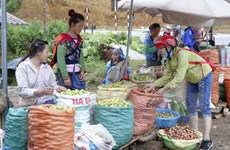 Điện Biên: Mùa vàng sơn tra bội thu trên đỉnh đèo Pha Đin