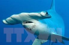 Phát hiện loài cá mập thích ăn chay đầu tiên trên thế giới