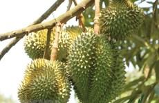 Lâm Đồng: Sầu riêng đặc sản Đạ Huoai cho nguồn thu 700 tỷ đồng