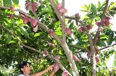 Xúc tiến thành lập nhóm hợp tác trong sản xuất và chế biến cacao