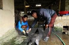 Điện Biên: Xuất hiện gia súc có biểu hiện bệnh lở mồm long móng
