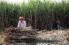 Người trồng mía ở Trà Vinh tiếp tục bị thua lỗ nặng