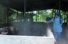 Tiền Giang: Tiêu hủy gần 1.200 con lợn bị lở mồm long móng