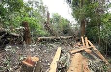 Điện Biên: Báo động tình trạng ngang nhiên tàn phá rừng già Nà Pen