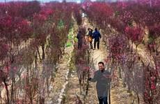 Nhật Tân: Người trồng lắp điều hòa chăm đào thất thốn tiến vua