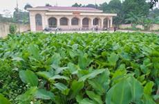 Sắc xanh của làng trồng lá dong Tràng Cát bên bờ sông Đáy