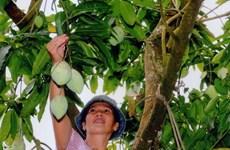 Bán cây xoài qua mạng giúp nông dân Đồng Tháp thu nhập khá