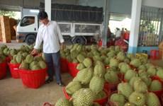 Người trồng sầu riêng ở Đạ Huoai phấn khởi vì được mùa được giá