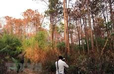 Vụ 10ha rừng thông bị hạ độc: Chủ rừng đơn độc, chính quyền kêu khó