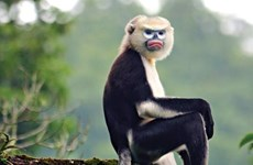 Hà Giang đẩy mạnh tuyên truyền bảo tồn loài voọc mũi hếch