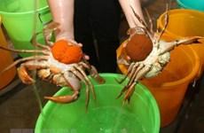 Nông dân vùng ven biển tỉnh Trà Vinh vào vụ thu hoạch cua biển