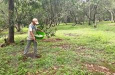 Bình Phước: Điều tra, làm rõ vụ phá hoại vườn điều của nông dân