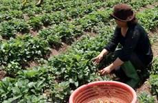 Nhu cầu mặt hàng đặc sản Đà Lạt tăng cao do nguồn cung khan hiếm