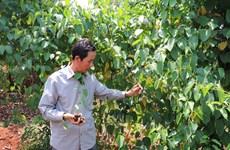 Gỡ vướng cho Sachi - cây trồng nhiều tiềm năng trên đất Gia Lai