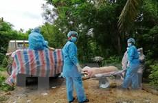 Hướng dẫn tiêu huỷ lợn bị bệnh tả châu Phi bằng phương pháp đốt