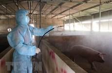Kết quả bước đầu nghiên cứu vắcxin dịch tả lợn châu Phi