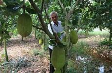 Tiền Giang: Nông dân ồ ạt trồng mít Thái, tiềm ẩn nhiều hệ lụy