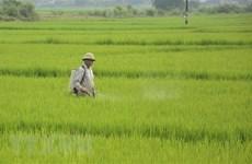Nhiều diện tích lúa ở Thừa Thiên-Huế bị sâu bệnh gây hại