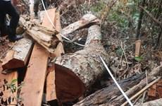 Lâm Đồng: Tạm giữ đối tượng khai thác trái phép cây bạch tùng cổ thụ