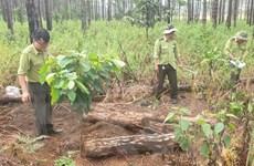 Lâm Đồng: Bắt quả tang 4 đối tượng phá rừng chiếm đất ở Lâm Hà