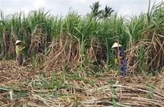 Công ty cổ phần mía đường Cần Thơ sẽ tiêu thụ hết mía cho nông dân