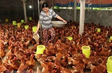 """Phú Thọ: Trang trại gà ở Cẩm Khê bị """"tố"""" gây ô nhiễm môi trường nặng"""