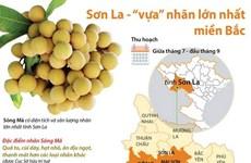 [Infographics] Sơn La - 'vựa' nhãn lớn nhất ở khu vực miền Bắc