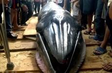 Ninh Thuận: Chôn cất một cá Voi chết tại khu vực vịnh Vĩnh Hy