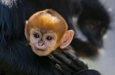 Chú khỉ con thuộc giống hiếm mới chào đời tại vườn thú Australia
