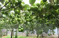 Ninh Thuận mở rộng quy mô trồng táo, nâng cao hiệu quả kinh tế