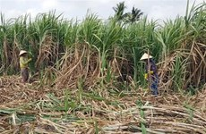 Hậu Giang đề nghị Casuco thực hiện cam kết về tiêu thụ mía