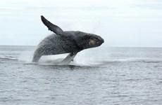 Canada: Người đầu tiên bị xử phạt tiền vì đến gần cá voi