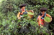 [Photo] Sơn La: Chè cổ thụ xã Tà Xùa được vinh danh cây di sản